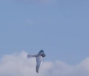 Robirds_Falcon_Drone_robotic_birds_of_prey_-_YouTube_-_2015-07-12_02.12.00